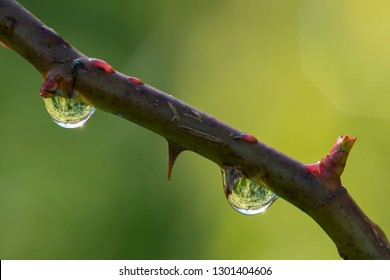 Detail of Dew water drops on Rose twig with buds.