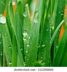 Detail of drops of water on the grass