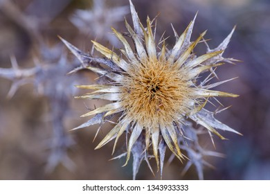 Detail dry flower of carlina racemosa. Cuckoo thistle. Thistle of the grape. Carline thistle.