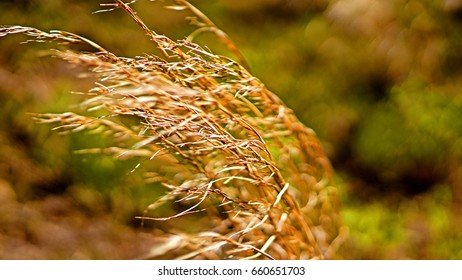 Detail of dry prairie grass