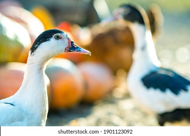 Detail of a duck head. Ducks feed on traditional rural barnyard. Close up of waterbird standing on barn yard. Free range poultry farming concept.