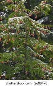 Detail of an Eastern Hemlock tree with a dusting of snow