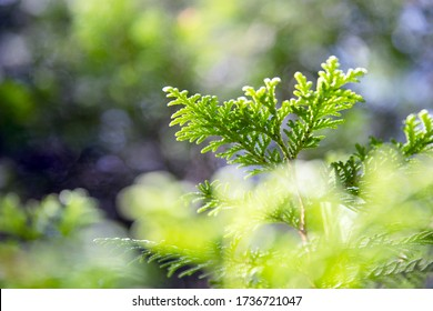Detail of Evergreen Pine Tree Spruce in Spring