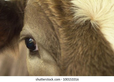 Detail of an eye of a brown cow.