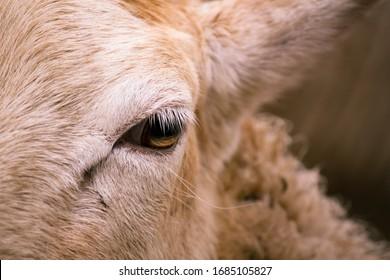detail of the eye of an ewe sheep