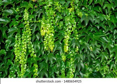 detail of a facade grown with climbing vine with lush foliage