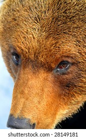 detail of the face of a large brown bear with an expression of intelligence and interest, almost as if he was weighing me up