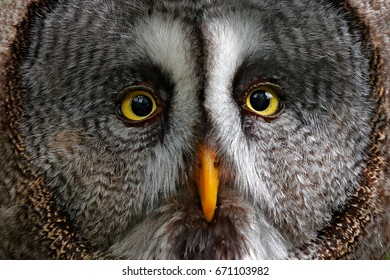 Detail face portrait of owl hidden in the forest. Great grey owl, Strix nebulosa, sitting on old tree trunk, portrait with yellow eyes. Animal in the forest nature habitat, Sweden.