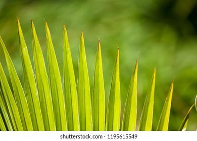 Detail of a Fan Palm in Maui, Hawaii.