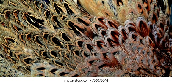 Detail of a female pheasant's plumage