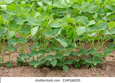 Detail of a field of mid-growth Soy or Soya - Glycine max - planted in rows.