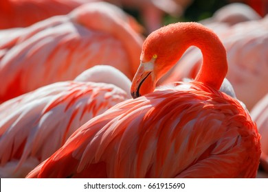 Detail of flamingo head with nice yellow eye