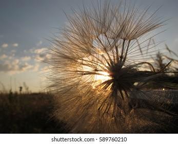 Detail, flower head of a Dandelion at sunset