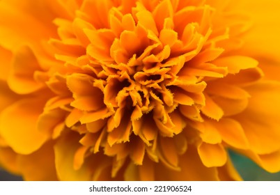 Detail of the flower of marigolds - Tagetes or Carnation of India