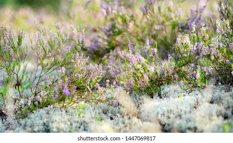 Detail of a flowering heather plant in Lithuanian landscape. Beautiful outdoor scenery.