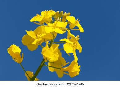 detail of flowering rapeseed canola or colza in latin Brassica Napus, plant for green energy and oil industry, rape seed on blue sky background