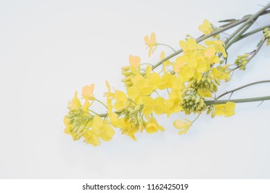 Detail of flowering rapeseed canola or colza in latin Brassica Napus isolated on white