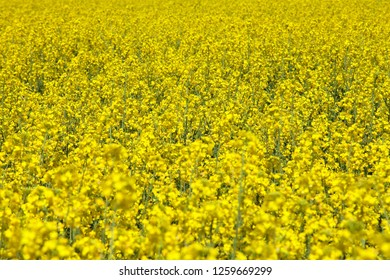 detail of flowering rapeseed canola or colza field in latin Brassica Napus, rape seed is plant for green energy and oil industry, flowering background