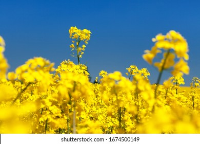 detail of flowering rapeseed canola or colza field in latin Brassica Napus, plant for green energy and oil industry, rape seed isolated on blue sky background