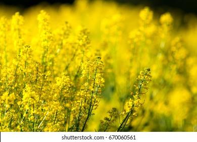 detail of flowering rapeseed field. Rapeseed field.