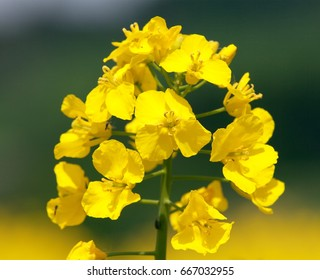 detail of flowering rapeseed field, canola or colza in latin Brassica Napus, plant for green energy and oil industry, rape seed on green background