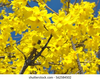 Detail of forsythia plant, spring blooming yellow flower, blue background