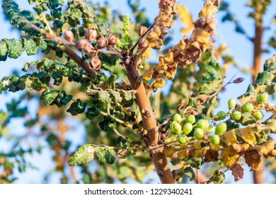 Detail of frankincense tree (Boswellia sacra) near Salalah, Oman