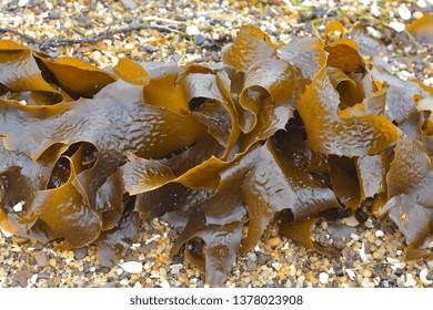 Detail of frond of brown kelp Ecklonia radiata on coarse beach sand.