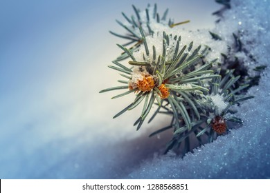 Detail of gemmate spruce tree sprig covered by snow with copy space. Shallow depth of field.