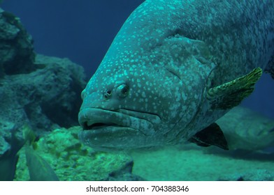 The detail of giant grouper at Phuket Thailand.