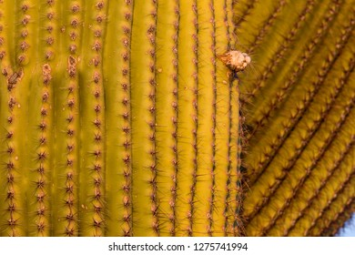 Detail of Giant Saguaro (Carnegiea gigantea), Saguaro National Park, Sonora Desert, Arizona, Tucson, USA.