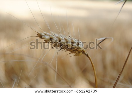 Detail of a grain stalk in a grain field