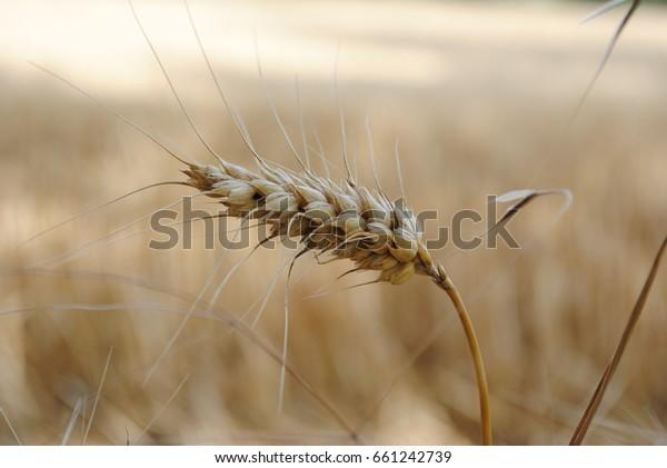 Detail of a grain stalk in a grain field