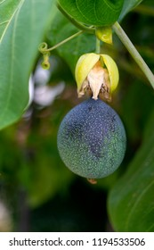 Detail granadilla fruit or maracuya in latin american garden, organic plant.