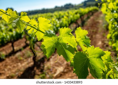 Detail of grapevine leaves illuminated with backlight sun beams against out of focus vineyard.