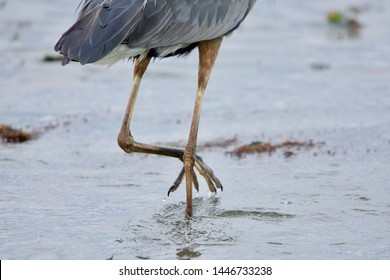 Detail of great blue heron legs as it wades through a tide pool at Witty's Lagoon, Vancouver Island, British Columbia.