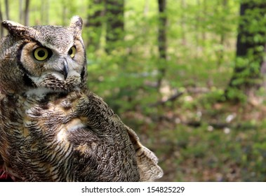 Detail of Great Horned Owl with alert eyes and tufted ears in natural setting