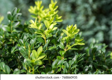 Detail of green buxus sempervirens shrub, branches with leaves