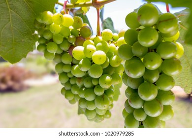 detail of green grapes on the vine with focus on one bunch