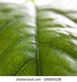 Detail of a green leaf with shallow focus