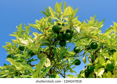 detail of green lemons on tree on lake side at touristic village on Garda lake, shot in bright fall light at Gargnano, Brescia, Italy