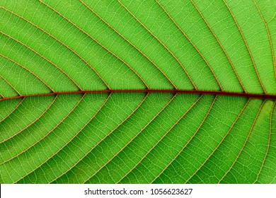 detail of green mitragyna speciosa leaves texture - background
