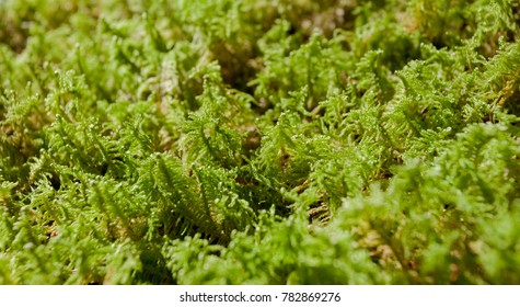 detail of green moss  in the woods