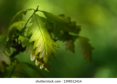 Detail of green oak leaf of young Quercus robur illuminated by the sun. Commonly known as common oak, pedunculate, European or English oak. Sunny day, green blurred background.