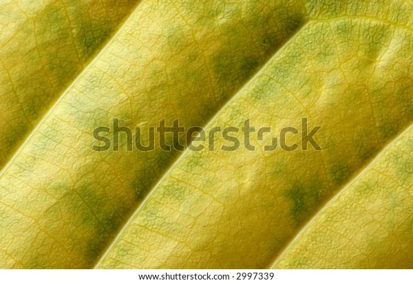 Detail of green and yellow leaf