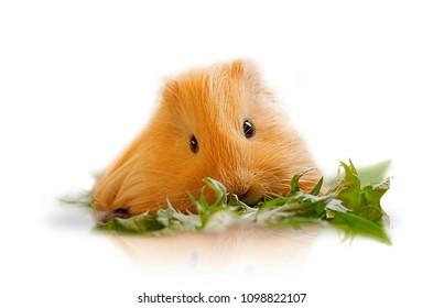 Detail of guinea pig