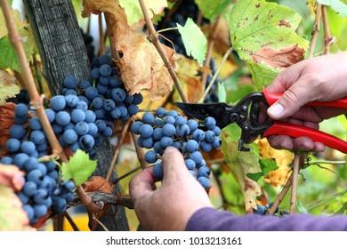 Detail of Handmade grape harvest on a vineyard