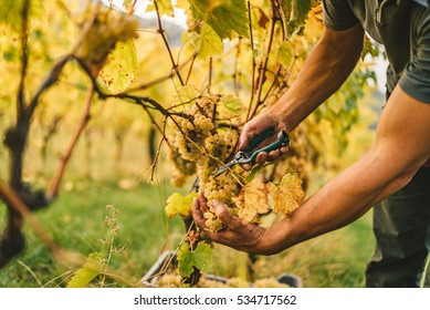 Detail of Handmade grape harvest on the Tuscan hills.