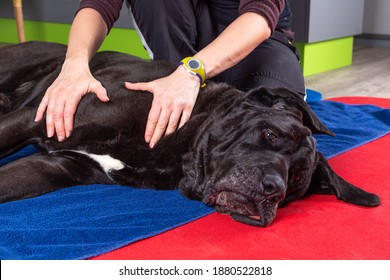 detail of hands massage a black dog during therapy