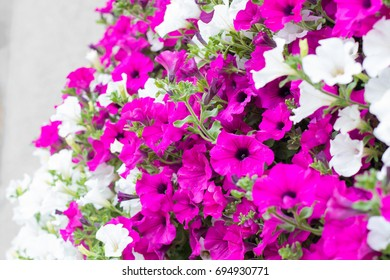 Detail of hanging basket with trailing white and pink surfinia flowers.